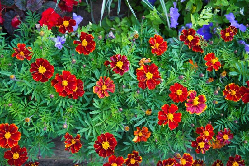 Flores vermelhas brilhantes do cravo turco no fundo das folhas verdes Foco seletivo imagem de stock