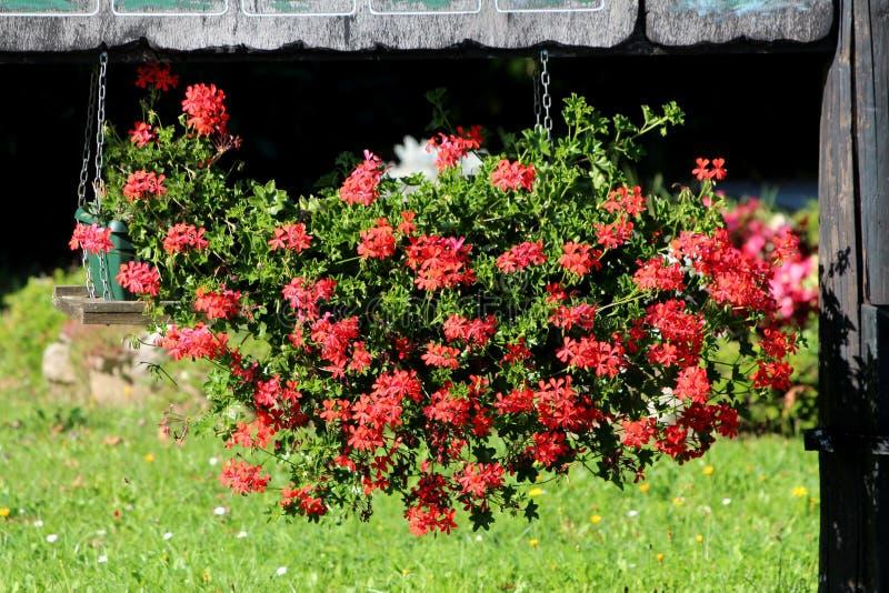 Flores vermelhas brilhantes do Pelargonium que penduram do polo de madeira velho com grama sem cortes no fundo imagem de stock royalty free