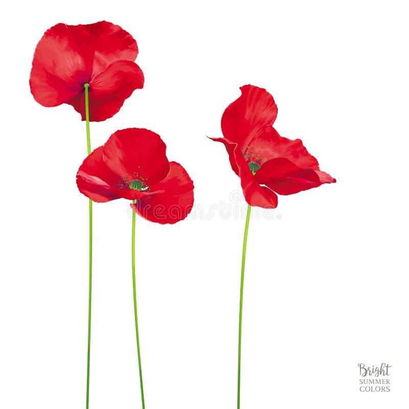 Flores vermelhas brilhantes luxuosos da papoila do vetor isoladas na parte traseira do branco ilustração stock
