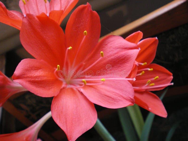 Flores vermelhas com os estames do purpurea do vallota fotos de stock royalty free