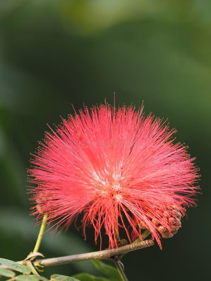 Flores vermelhas com pólen em uma linha no borrado do fundo da natureza fotos de stock royalty free
