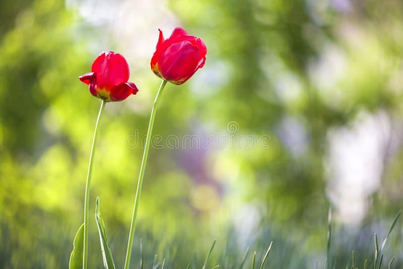 Flores vermelhas cor-de-rosa brilhantes da tulipa que florescem na haste alta no fundo verde borrado do espaço da cópia Beleza e  fotografia de stock royalty free