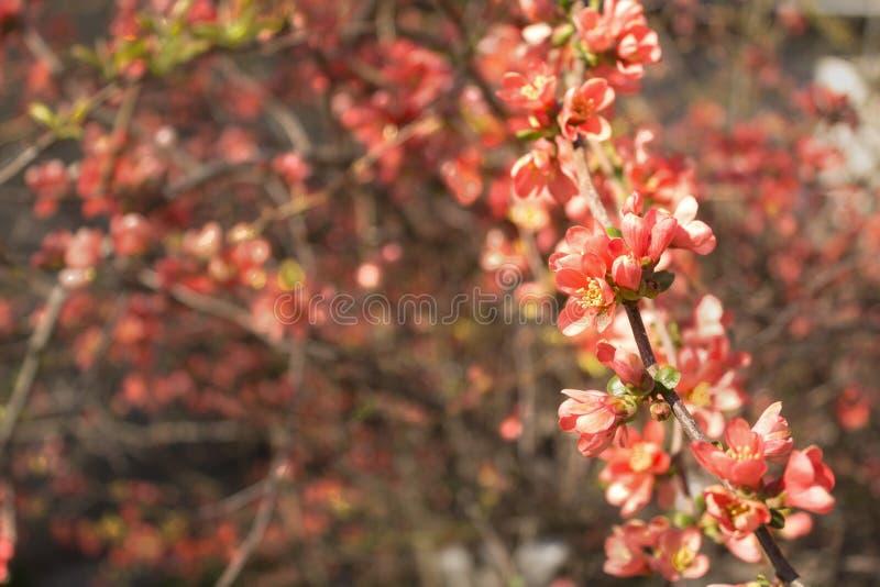 Flores vermelhas da árvore de marmelo japonês de florescência na estação de mola foto de stock royalty free
