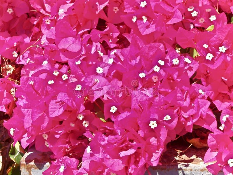 Flores vermelhas da buganvília imagem de stock royalty free