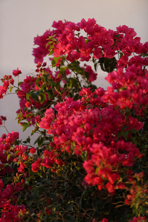 Flores vermelhas da buganvília foto de stock