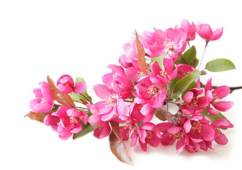 Flores vermelhas da cereja imagens de stock royalty free
