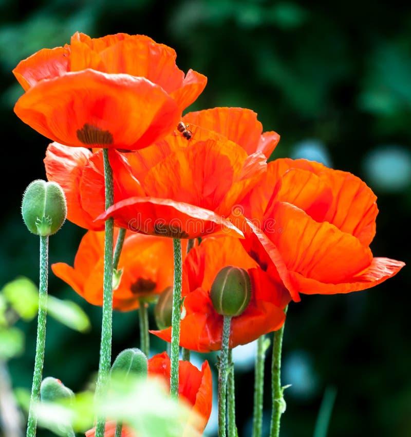 Flores vermelhas da papoila fotos de stock royalty free