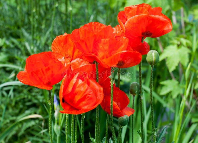 Flores vermelhas da papoila fotos de stock