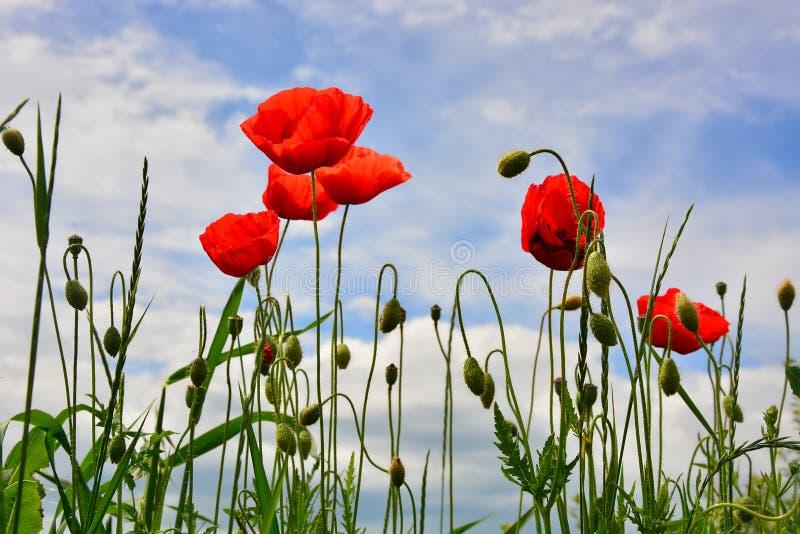 Flores vermelhas da papoila imagem de stock