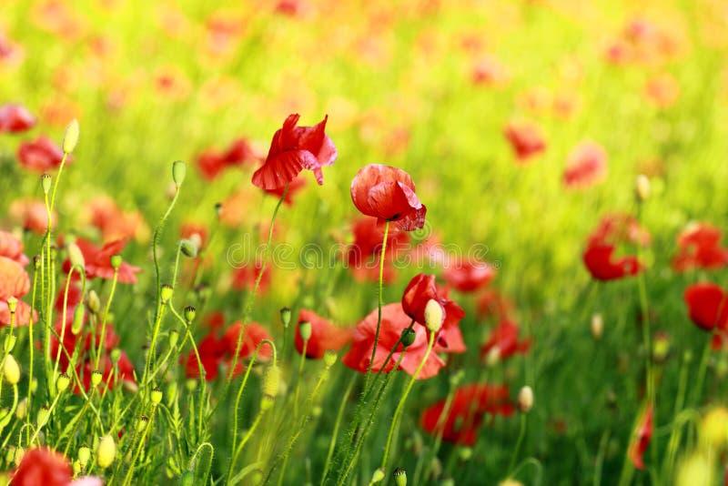 Flores vermelhas da papoila da flor no campo imagens de stock