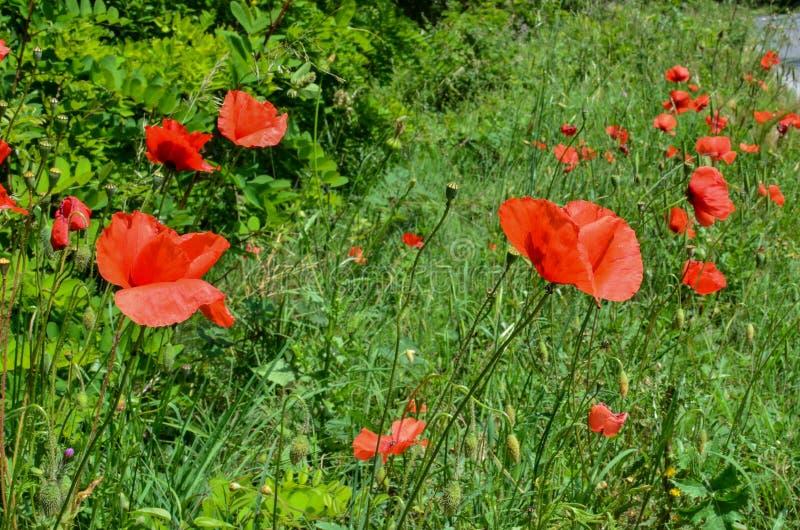 Flores vermelhas 2 da papoila imagem de stock