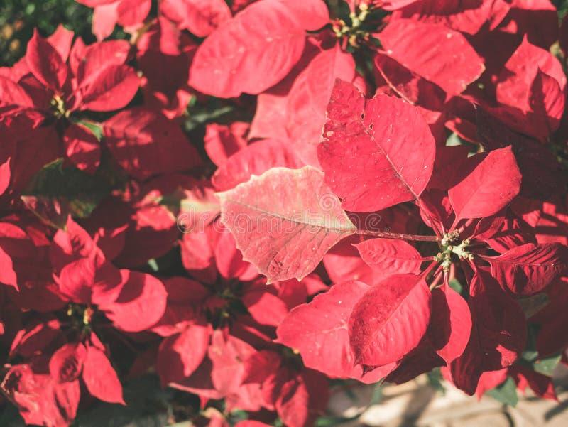 Flores vermelhas da poinsétia na luz solar no jardim imagem de stock