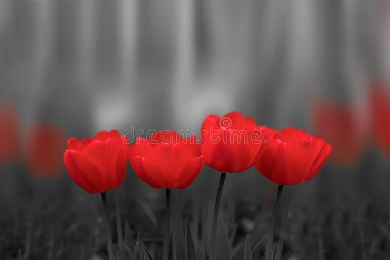 Flores vermelhas da tulipa no fundo preto e branco fotografia de stock royalty free
