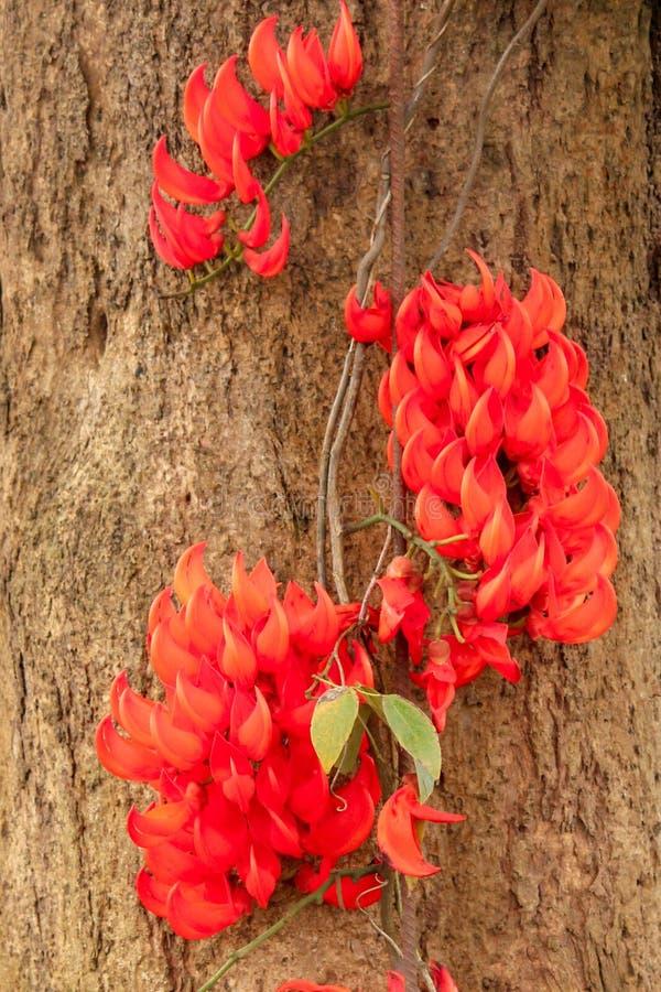 Flores vermelhas das chamas fotos de stock royalty free