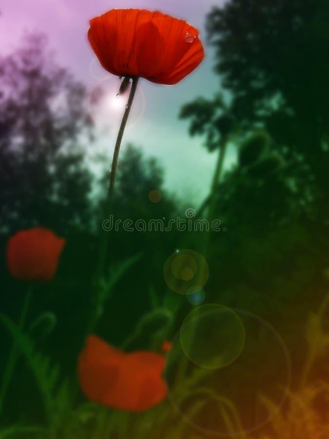 flores vermelhas das papoilas em um campo aberto fotos de stock