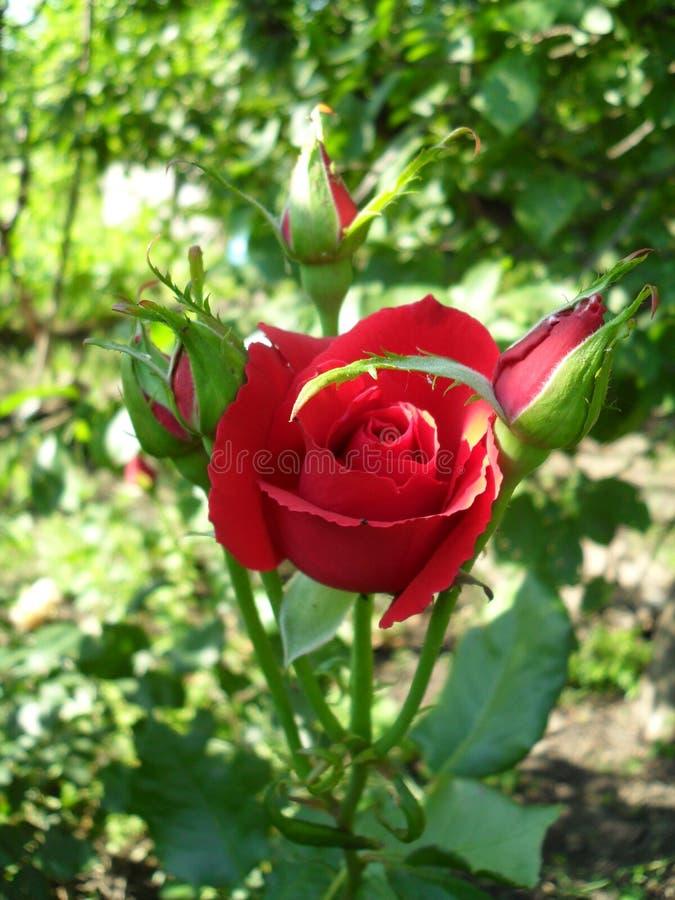 Flores vermelhas das rosas de Bush do chá imagem de stock
