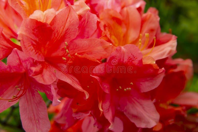 Flores vermelhas de florescência do jardim na mola em um dia ensolarado foto de stock royalty free