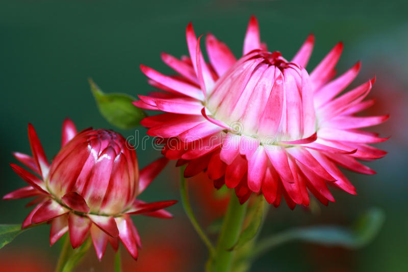 Flores vermelhas de Monstrosum do Helichrysum foto de stock