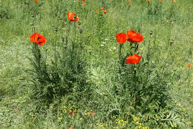Flores vermelhas de papoilas orientais imagem de stock royalty free