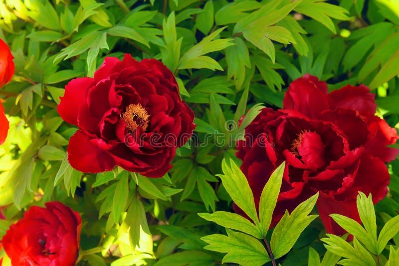 Flores vermelhas de peônias da árvore imagem de stock