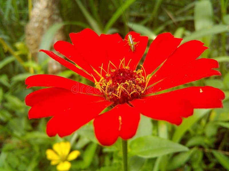 Flores vermelhas de Sri Lanka fotos de stock