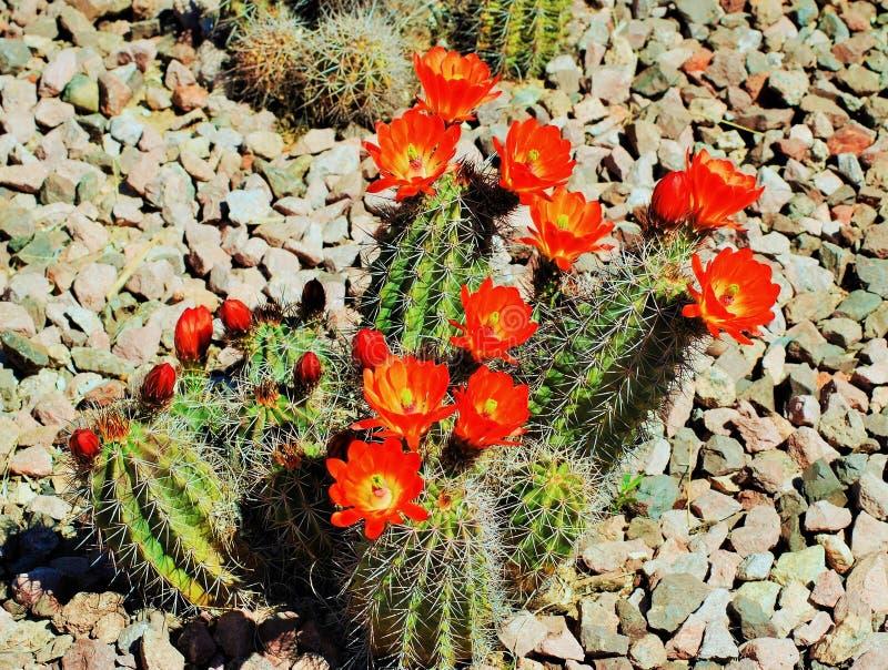 Flores vermelhas de um cacto do Arizona na flor completa no verão imagens de stock