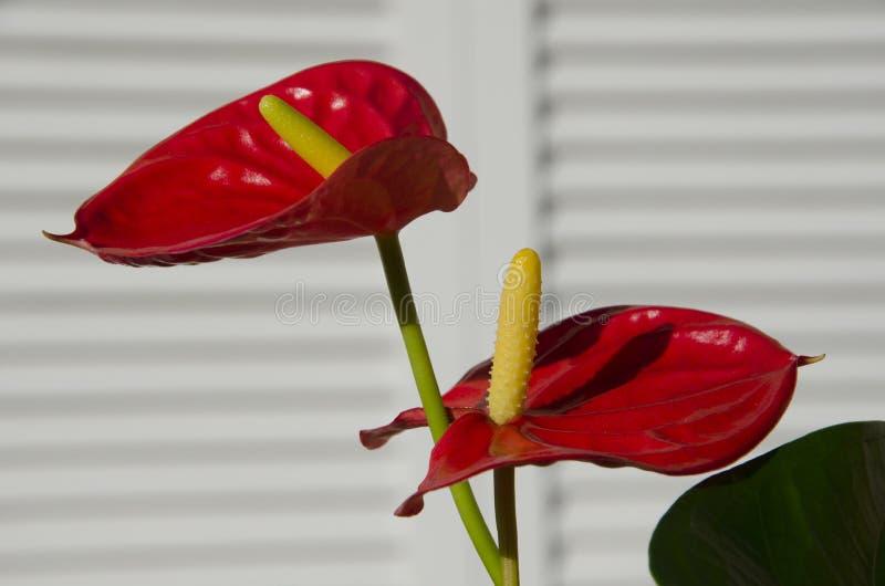 Flores vermelhas do antúrio fotografia de stock