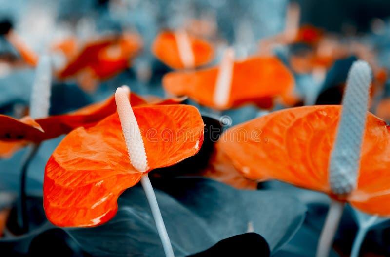 Flores vermelhas do antúrio em um macro escuro do fundo Imagem expressivo graciosa colorida da natureza, papel de parede imagens de stock