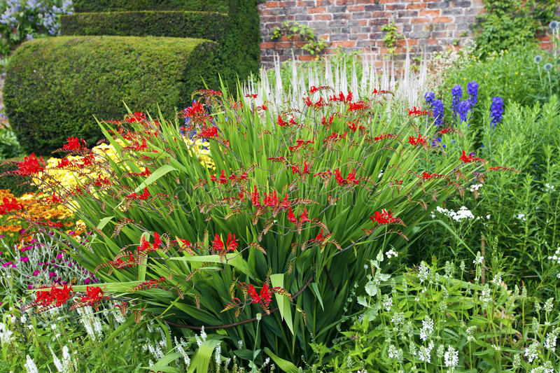 Flores vermelhas do clrcosmia em um jardim. imagem de stock royalty free