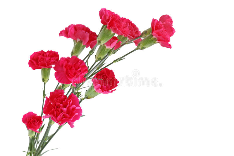 Flores vermelhas do cravo fotos de stock