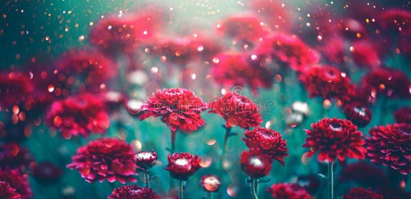 Flores vermelhas do crisântemo que florescem em um jardim Projeto da arte das flores do outono fotografia de stock royalty free