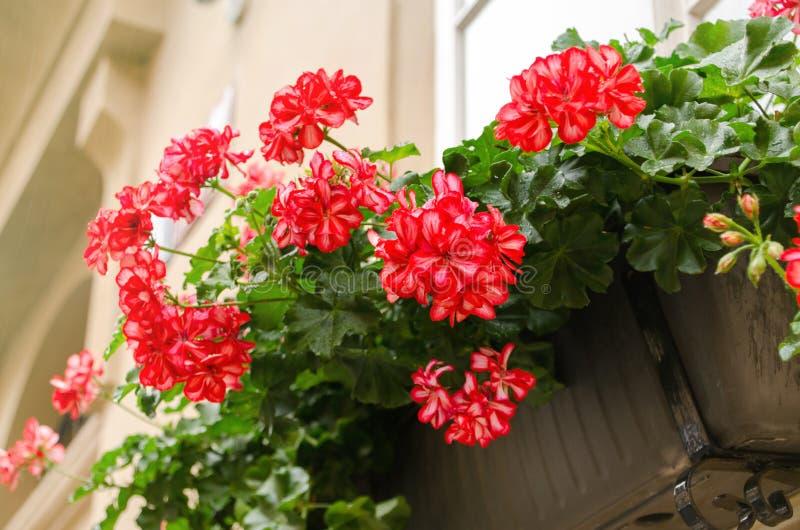Flores vermelhas do gerânio do jardim no potenciômetro, fim acima das flores disparadas do gerânio Pelargonium imagem de stock