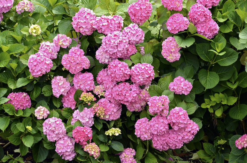 Flores vermelhas do Hydrangea fotografia de stock royalty free