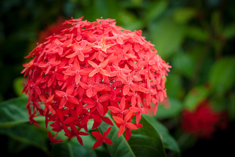 Flores vermelhas do ixora imagem de stock