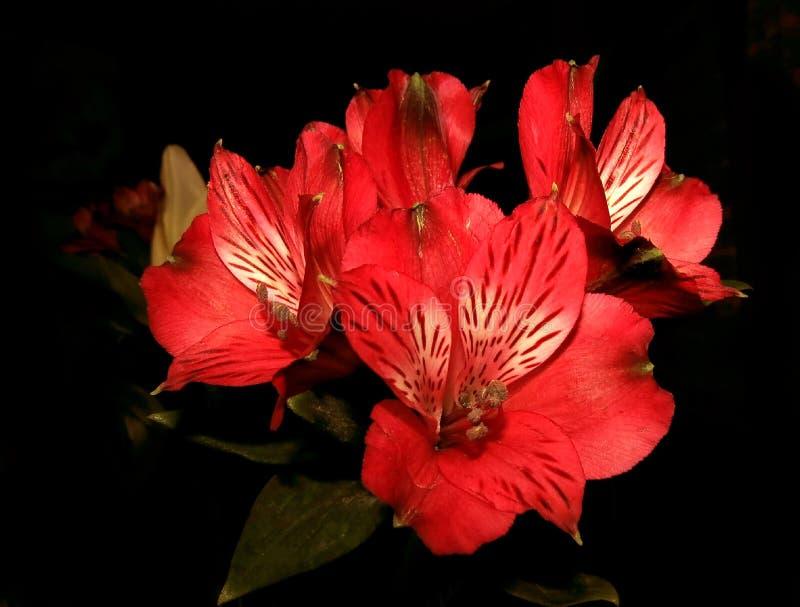 Flores vermelhas do lírio no preto fotografia de stock