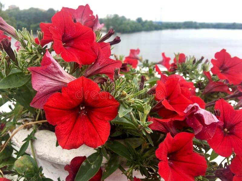 Flores vermelhas do loach e da folha verde imagem de stock royalty free
