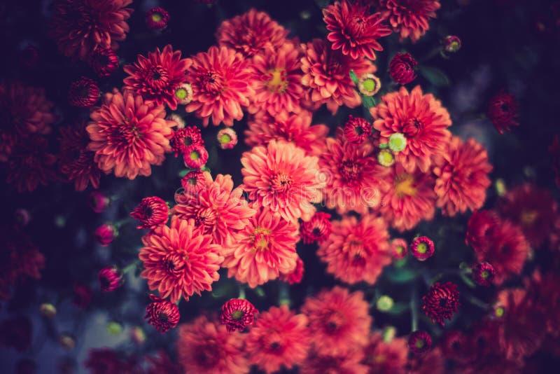 Flores vermelhas do mum em uma sala escura foto de stock