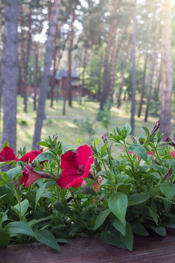 Flores vermelhas do petúnia entre as folhas verdes na soleira fotos de stock royalty free