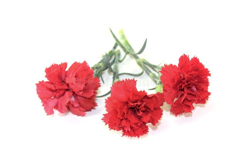 Flores vermelhas dos cravos imagens de stock