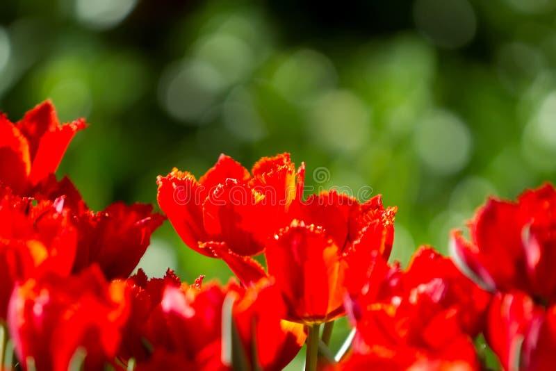 Flores vermelhas dos tulips no jardim fotos de stock royalty free