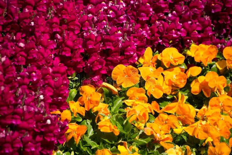 Flores vermelhas e amarelas do amor perfeito foto de stock