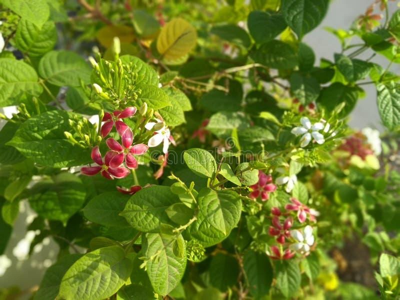 Flores vermelhas e brancas fotografia de stock royalty free