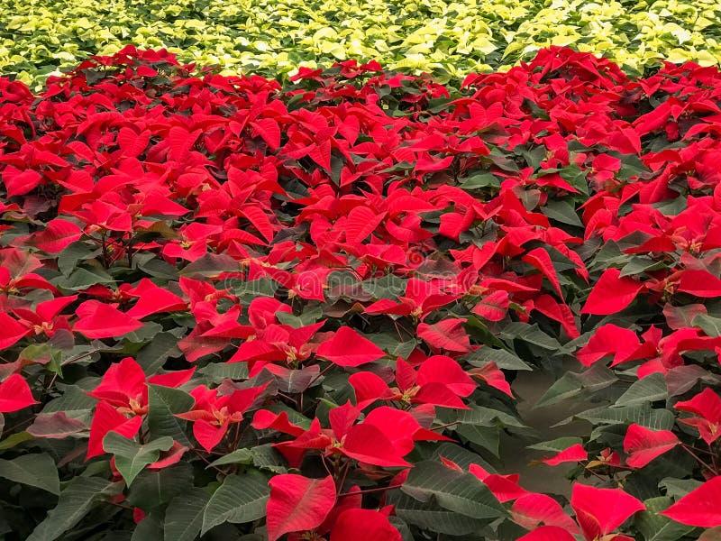 Flores vermelhas e brancas do Natal da poinsétia fotografia de stock