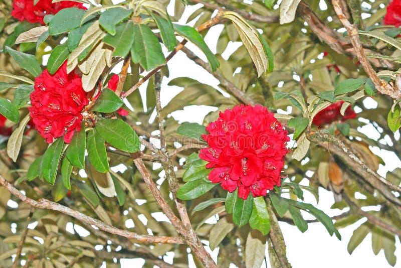 Flores vermelhas fundo, azálea do arboreum do rododendro no parque nacional do inthanon do doi de Tailândia em Chiang Mai, a mont imagem de stock
