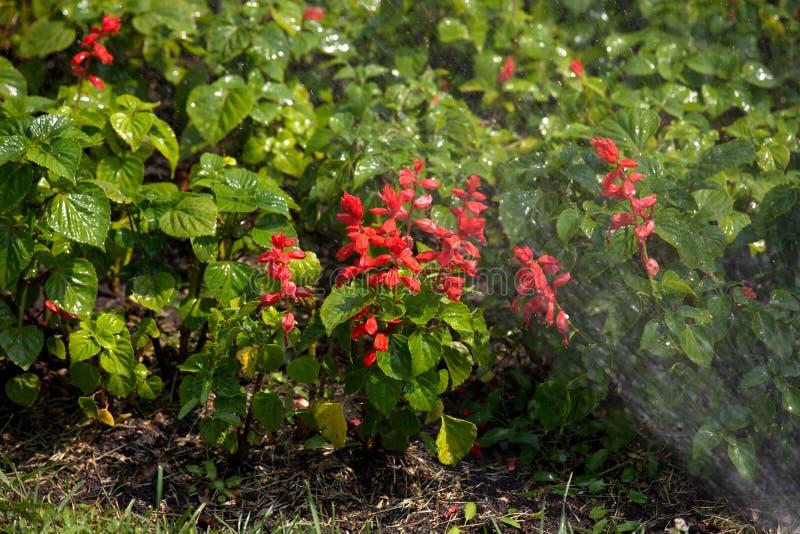 Flores vermelhas, irrigação de camas de flor foto de stock