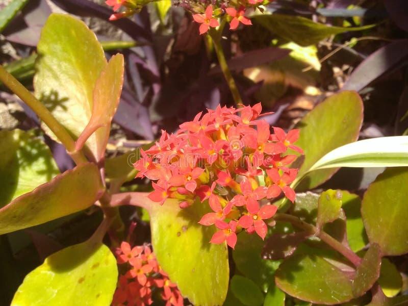 Flores vermelhas minúsculas com folhas verdes foto de stock