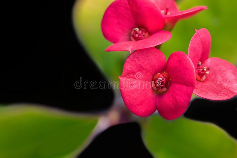 Flores vermelhas minúsculas e folhas verdes fotografia de stock