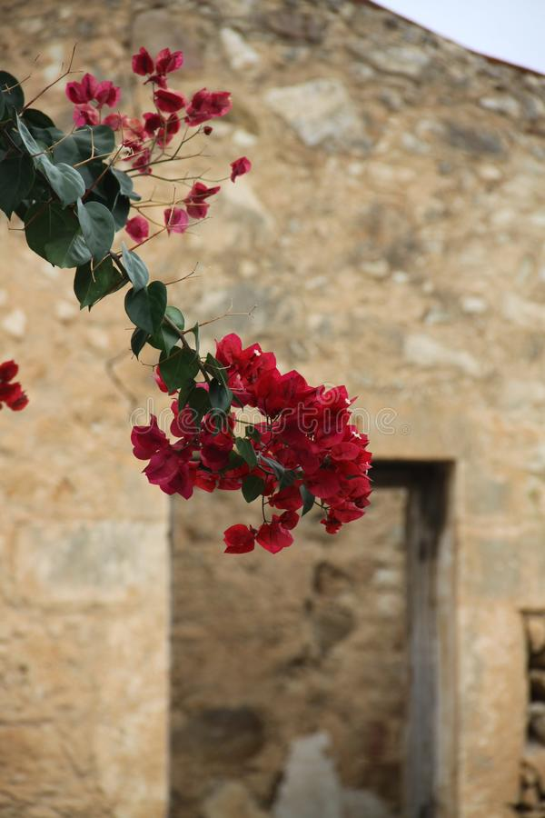 Flores vermelhas na parede foto de stock