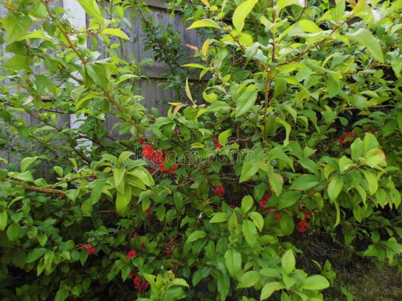 Flores vermelhas no arbusto no jardim foto de stock royalty free