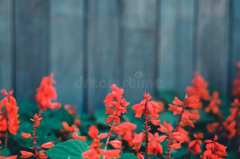 Flores vermelhas no jardim fotografia de stock royalty free